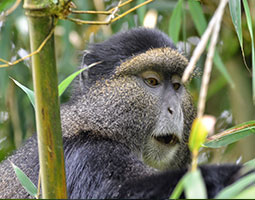 Goldern monkey Nyungwe